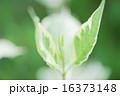 初夏の新緑、初夏の新芽 16373148