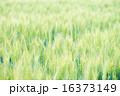 麦畑 16373149