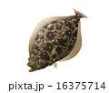 ヒラメ 16375714