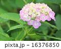 花 しずく 植物の写真 16376850