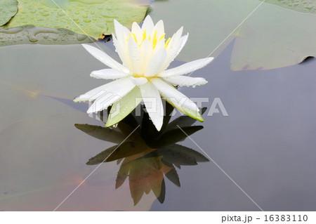 白いスイレンの写真素材 [16383110] - PIXTA