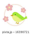 ウグイスと梅の花 16390721