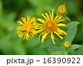 オグルマ小車の花 16390922