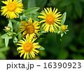 オグルマ小車の花 16390923