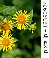 オグルマ小車の花 16390924