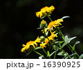 オグルマ小車の花 16390925
