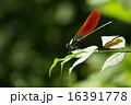 ニホンカワトンボ トンボ 昆虫の写真 16391778
