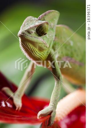 Flower on chameleon, bright vivid exotic climate