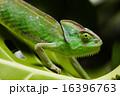 Flower on chameleon, bright vivid exotic climate 16396763