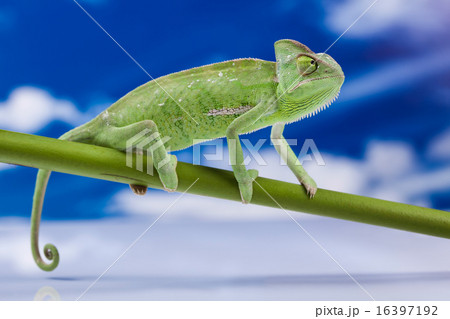 Chameleon on the blue sky, bright vivid exotic