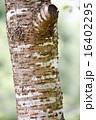 木肌 木皮 幹の写真 16402295