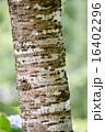 木肌 木皮 幹の写真 16402296