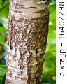 木肌 木皮 幹の写真 16402298