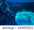 水族館とマンボウ 16405852