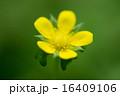 とろける 黄色い花 夢見る 16409106