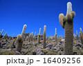 イソカワシ島 ウユニ サボテンの写真 16409256