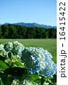晴天の紫陽花と那須の山 16415422