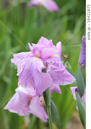 花菖蒲;津の花 16421875