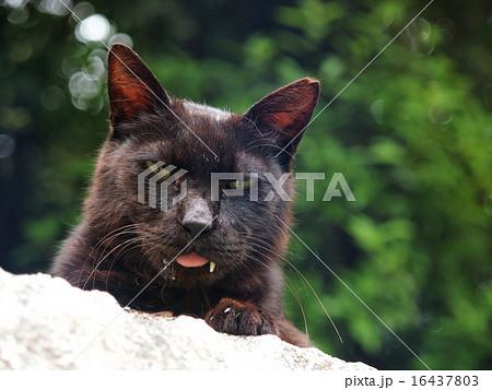 舌を出した黒猫 16437803