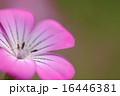 ムギナデシコ 16446381