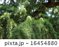 ヒマラヤ杉 実 葉の写真 16454880