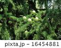 ヒマラヤ杉 実 葉の写真 16454881