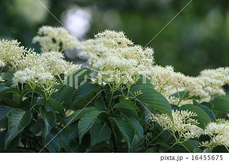 自然 植物 クマノミズキ、綿帽子のような花。近くで見ると薄黄色の小さな花がいっぱい集まっています 16455675