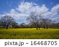四万十川の菜の花畑 16468705