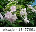紫陽花 16477661
