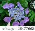 紫陽花 16477662