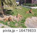 ライオン 16479833