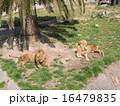 ライオン 16479835
