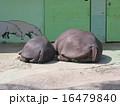 親子カバの昼寝 16479840