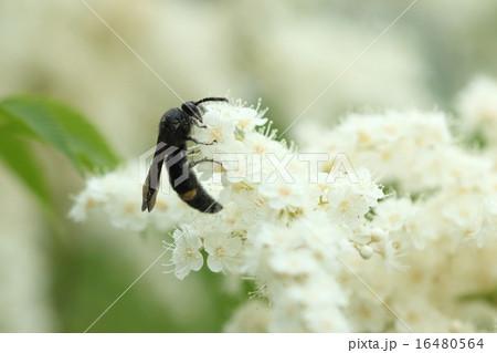 生き物 昆虫 キオビツチバチ、土に潜ることが多いからでしょうか?短い毛がびっしり密生しています 16480564
