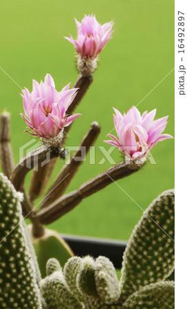 ブルーミング 開花 咲く 16492897