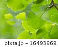 イチョウ 葉っぱ 新緑の写真 16493969