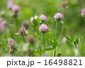 ムラサキツメクサ 紫詰草 花の写真 16498821