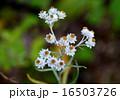 山母子の花 16503726