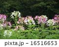 クレオメ 西洋風蝶草 スパイダーフラワーの写真 16516653