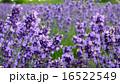 ラベンダー1 16522549