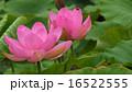 中尊寺蓮4 16522555