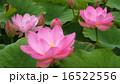 中尊寺蓮5 16522556