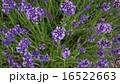 ラベンダー5 16522663