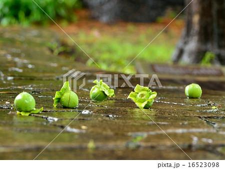 雨降って青い柿の実が落ちる 16523098