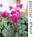 ピンクのシクラメン 16523508