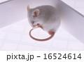 ハツカネズミ 16524614