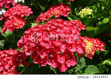 赤いアジサイ 16534957