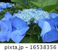 紫陽花 16538356