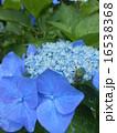紫陽花 16538368
