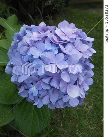 紫陽花 16538373